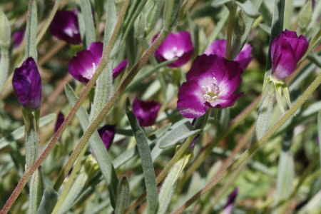 California wildflower seeds photothe usual shiny deep reddish purple fls have an unusual white center mightylinksfo