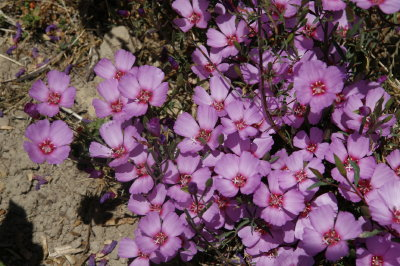 Lavender Pink Flowers Have Red Centers On This Showy Annual Floriferous And Very Striking In Containers Or The Garden Good Cut Flower
