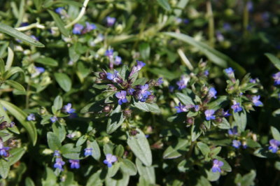Small Flowers Nestled In Leaf Axils Are Very Well Displayed Great Annual For Scale Or Containers