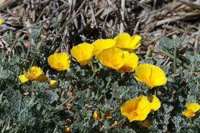 California natives seedhunt photo this perennial form of california poppy has creamy to pale yellow flowers it is smaller in stature than many robust orange cultivars fitting into mightylinksfo