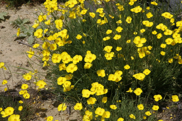 California natives seedhunt eschscholzia lobbii photo diminutive plants produce vibrant clear yellow round flowers in spring mightylinksfo