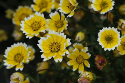 California wildflower seed somewhat succulent low leaves are glossy green cheery spring flowers are good sized abundant and yellow with white tips annual cn mightylinksfo