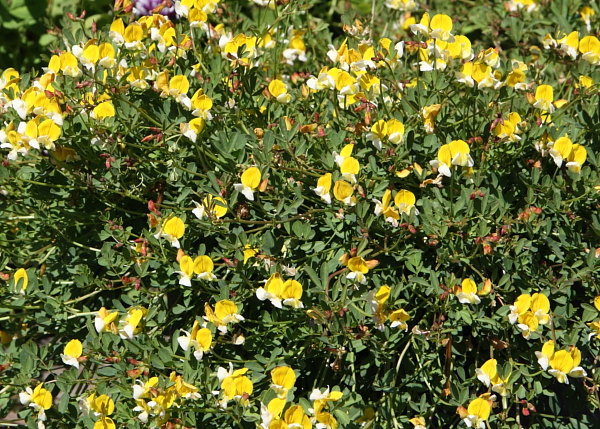 California wildflower seed absolutely flat mats of green leaves are covered with white and yellow pea flowers mightylinksfo