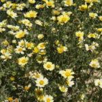 Layia glandulosa