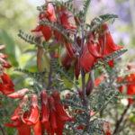 Lessertia montana