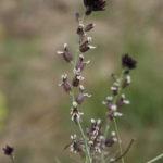Streptanthus insignis
