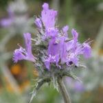Salvia carduacea