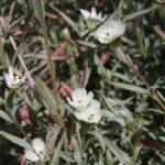 Clarkia purpurea quadrivulnera--white