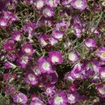 Clarkia speciosa ssp immaculata