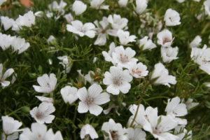 limnanthes-douglasii-rosea3