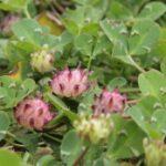 Trifolium fucatum-cub