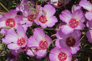 Clarkia gracilis ssp tracyi